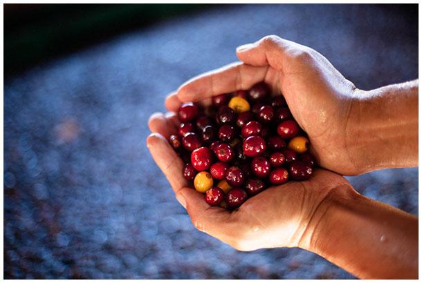 Coffee beans in Honduras